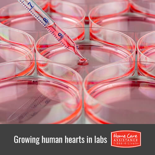 Can Scientists Grow Human Hearts in Laboratories in Oshkosh, WI?